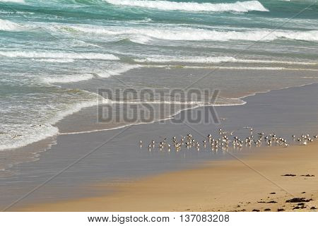 A flock of Lesser Crested Terns seabird at Seal Bay, Sea lion colony on south coast of Kangaroo Island, South Australia