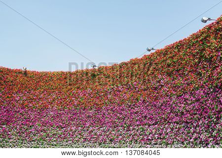 Wall Of Pansy Flower With Sky Background.