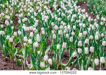 Beautiful White Tulips In Flowers Garden.