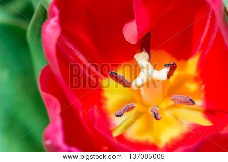Tulip Anthers With Pollen Grains Of Red Tulip Flower.