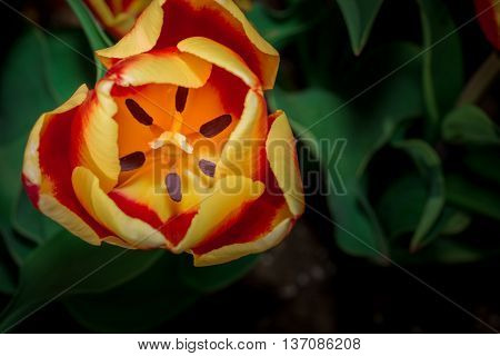 Tulip Anthers With Pollen Grains Of Beautiful Tulip Flower.
