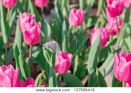 Beautiful Pink Tulips In Flowers Garden.