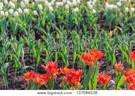 Beautiful Red Tulips In Flowers Garden.