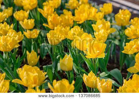 Beautiful Yellow Tulips In Flowers Garden.