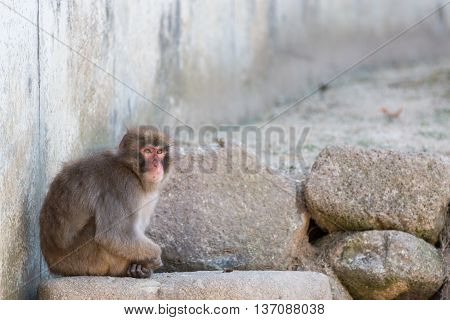 Macaca Fuscata Or Japanese Macaque Relaxing.