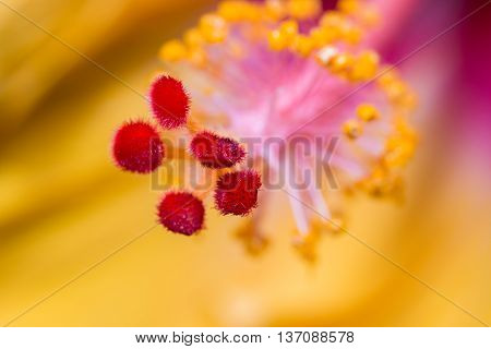 Hibiscus Flower Showing Pollen Details Close Up.