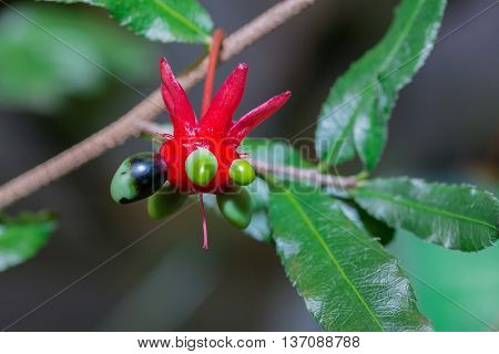 Ochna Serrulata In Nature Exotic Plant