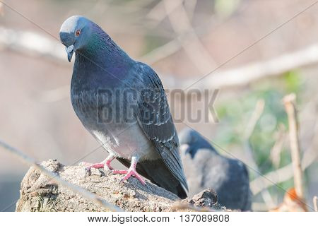Feral Pigeon (columba Livia Domestica) Perching On A Branch.