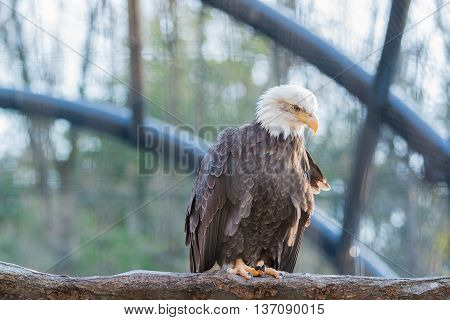 Bald Feral Eagle Perched On A Dry Branch.