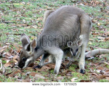 Whiptail Wallaby With Joey