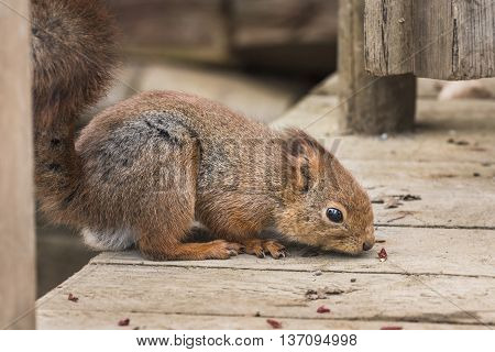 Portrait Of Eurasian Red Squirrel.sciurus Vulgaris