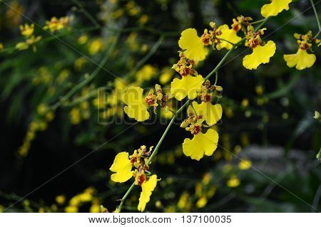 Dancing-lady orchid, Oncidium sp., Family Orchidaceae, Central of Thailand