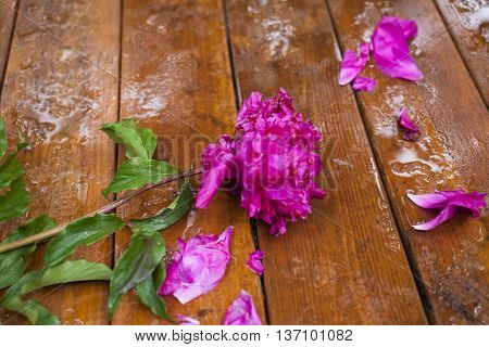 The picked flower alone lies on a wet table