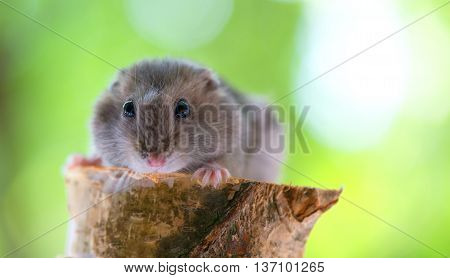 funny little hamster on green background and wood