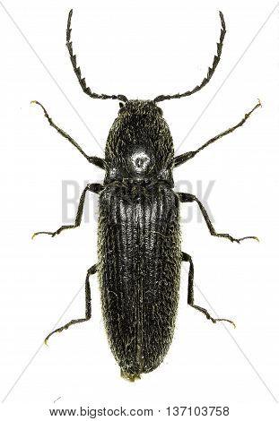ClickBeetle Hemicrepidius on white Background  -  Hemicrepidius niger (Linnaeus, 1758)