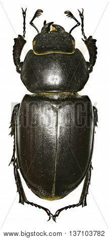 The stag beetle on white Background  -  Lucanus cervus (Linnaeus, 1758)