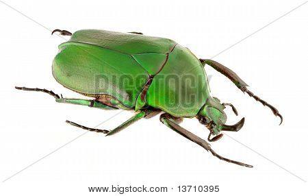 Trogonophorus Rothschildi