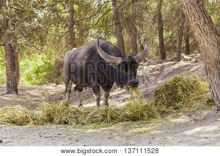 The Indian buffalo in the natural park in Spain