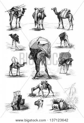 Studies dromedary, vintage engraved illustration. Magasin Pittoresque 1861.