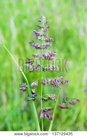 The ground reedgrass (Calamagrostis epigeios) is a perennial herbaceous plant a species of Calamagrostis of the family of Grasses.Wild plants of Siberia