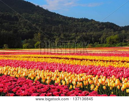 Vast, Colorful Tulip Field with Mountain Background