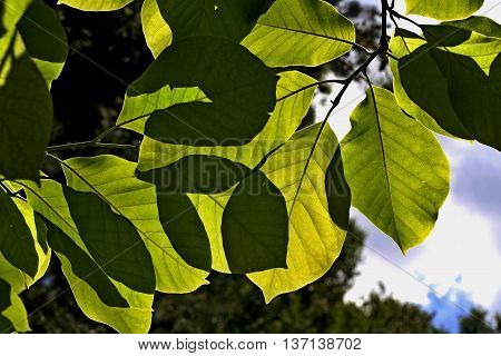 several nice green  leaves in the garden
