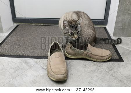 domestic cat sniffs beige shoes come guest on mat in corridor poster