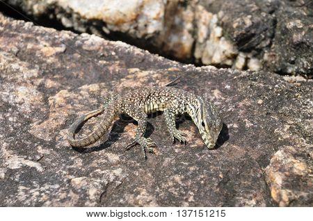 A lizard having a sun bath on a stone