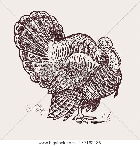 Vector illustration - a bird turkey. A series of farm animals. Graphics, handmade drawing. Vintage engraving style. Nature - Sketch. Isolated fowls image on a white background.