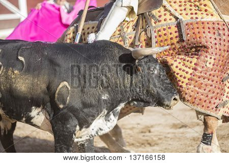 Linares SPAIN - August 28 2014: Picador bullfighter lancer whose job it is to weaken bull's neck muscles in the bullring for Jaen Spain