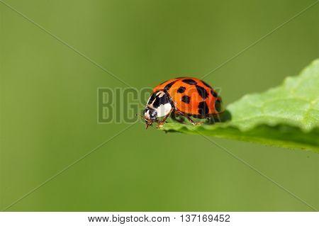 A harlequin ladybird or Ladybug (Harmonia axyridis) on a leaf. poster