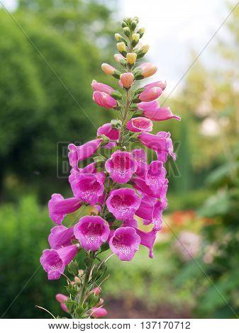 Detail of flower of medicinal herb digitalis purpurea