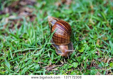 Burgundy Snail Crawling On Green Grass