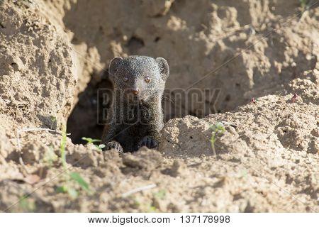 Dwarf mongoose family enjoy the safety of their burrow