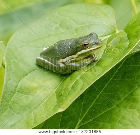 Green Treefrog (Hyla cinerea) resting on a leaf