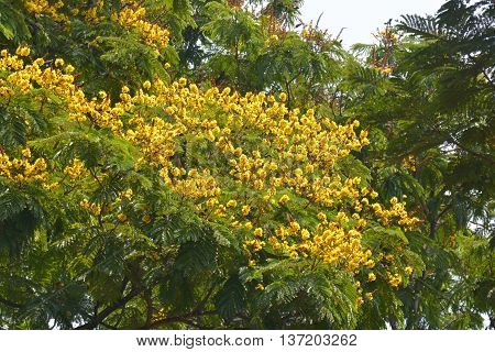 Peltophorum pterocarpum (copperpod, golden flamboyant, yellow flamboyant, yellow flame tree, yellow poinciana