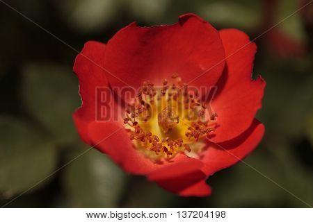 Red Miniature Floribunda Rose Gizmo Rosa flower blooms as ground cover in a botanical garden in summer