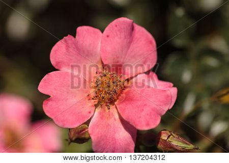 Happy Chappy pink apricot rose, rosa, flower blooms as ground cover in a botanical garden in summer