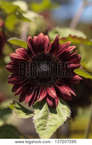 Deep red hedge sunflower Helianthus annuus blooms in a botanical garden in Summer
