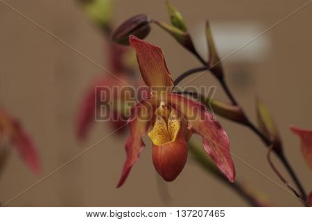 Lady Slipper Orchid flower Paphiopedilum blooms in a greenhouse in spring poster