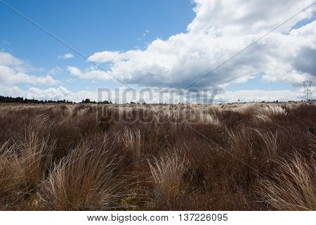 Desert Road tussock golden and bend in wind.