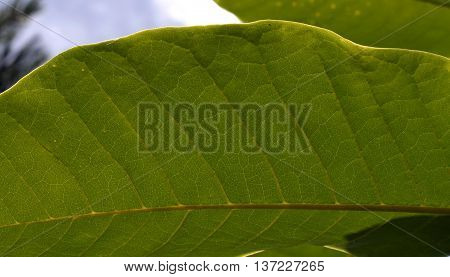 texture oblong green leaf in the garden