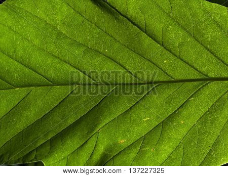 big leaf and its texture in the garden