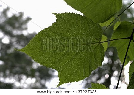 green leaf with stalk in the garden