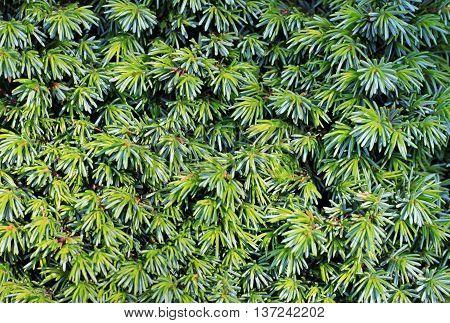 Conifer fir tree branches with needle-like foliage, newly grown, nature background.