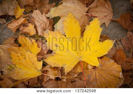 Yelow and orange fall leaves. Autumn background