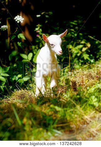 Little Baby Goat On Wild Meadow On Beautiful Sommer Day.
