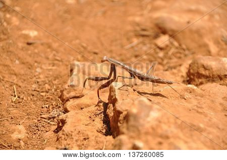 A large mantid crawling on sandy ground
