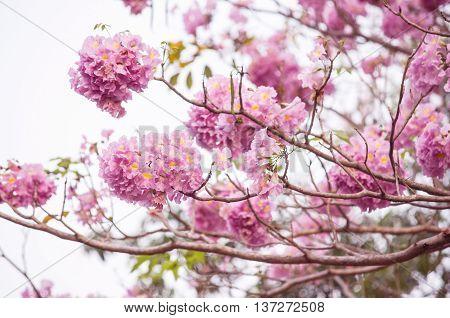 Pink trumpet (tabebuia) tree flower blooming. Pink flower neotropical tree