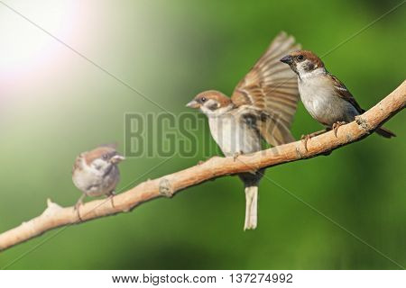 Three birds on a branch, sparrows, young birds, green background, bright colors with sunny hotspot